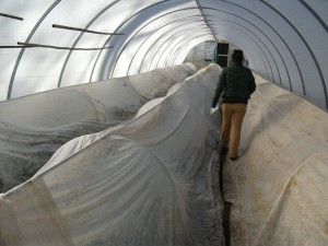 Hoops of frost cloth within hoop house