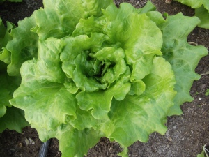 Tiny Farm Lettuce