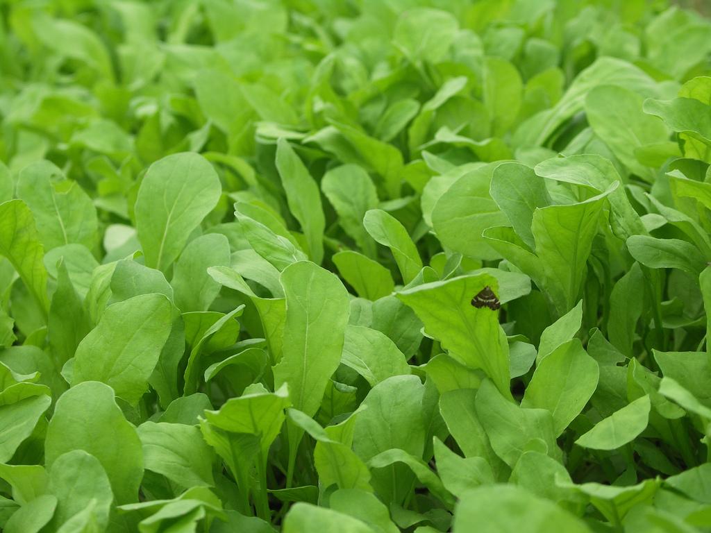 Arugula The Forbidden Green on Giada De Laurentiis