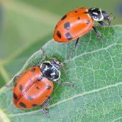 ladybird beetles
