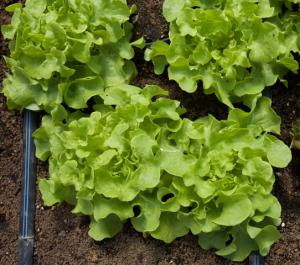 Panisse Lettuce Aug 22 2015